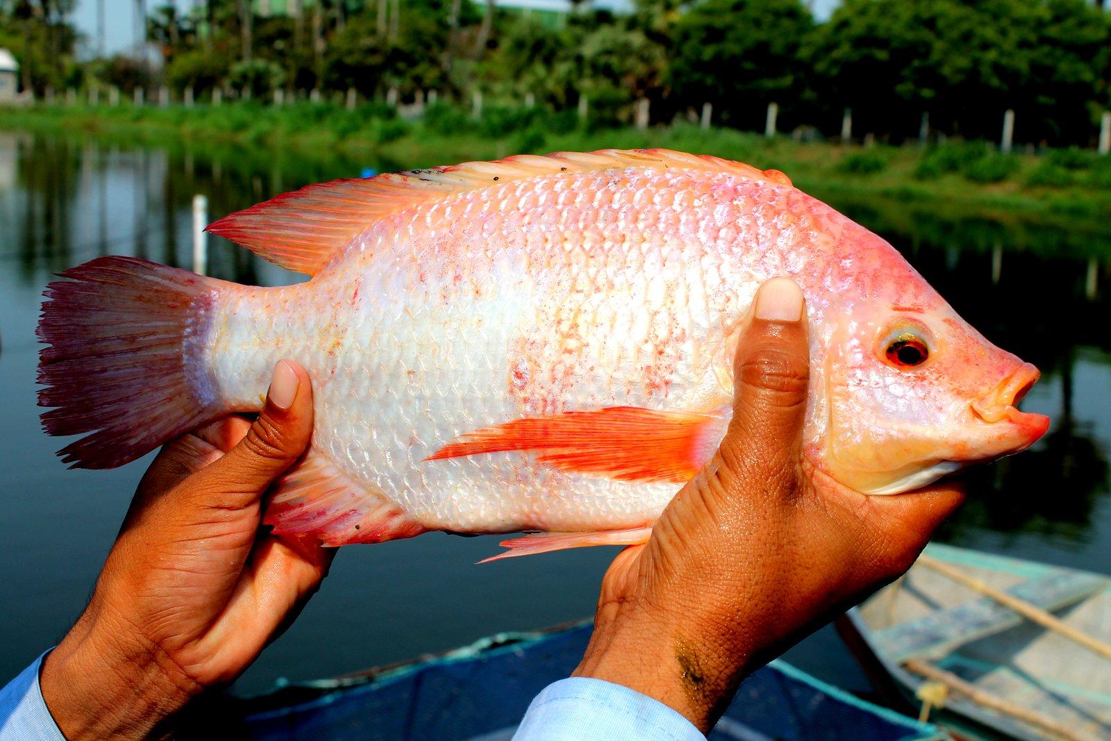 تولید ماهی تیلاپیا در تایلند