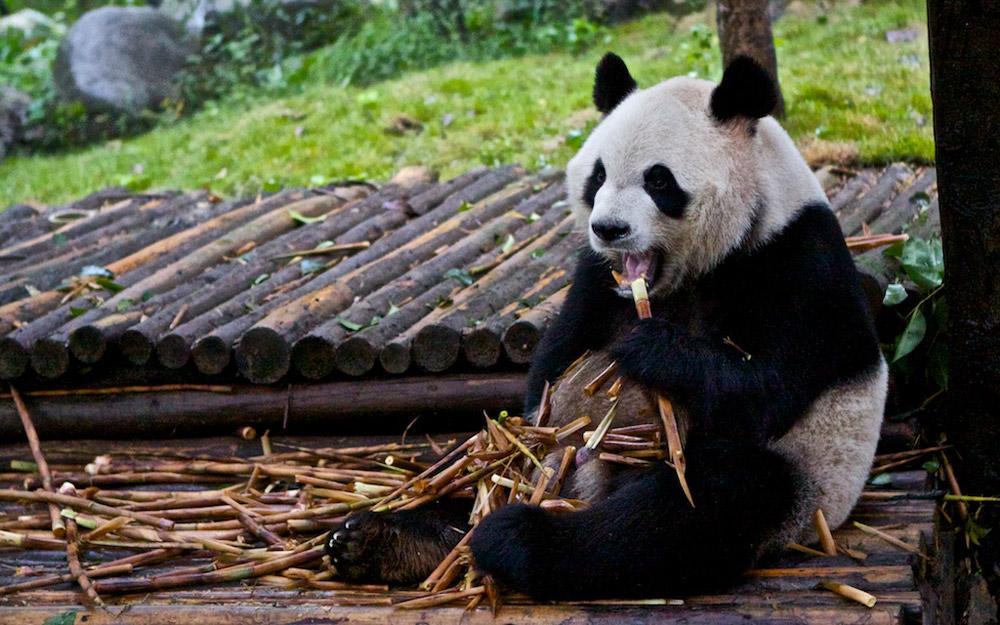 بهترین مکان ها در چین برای دیدن پانداها